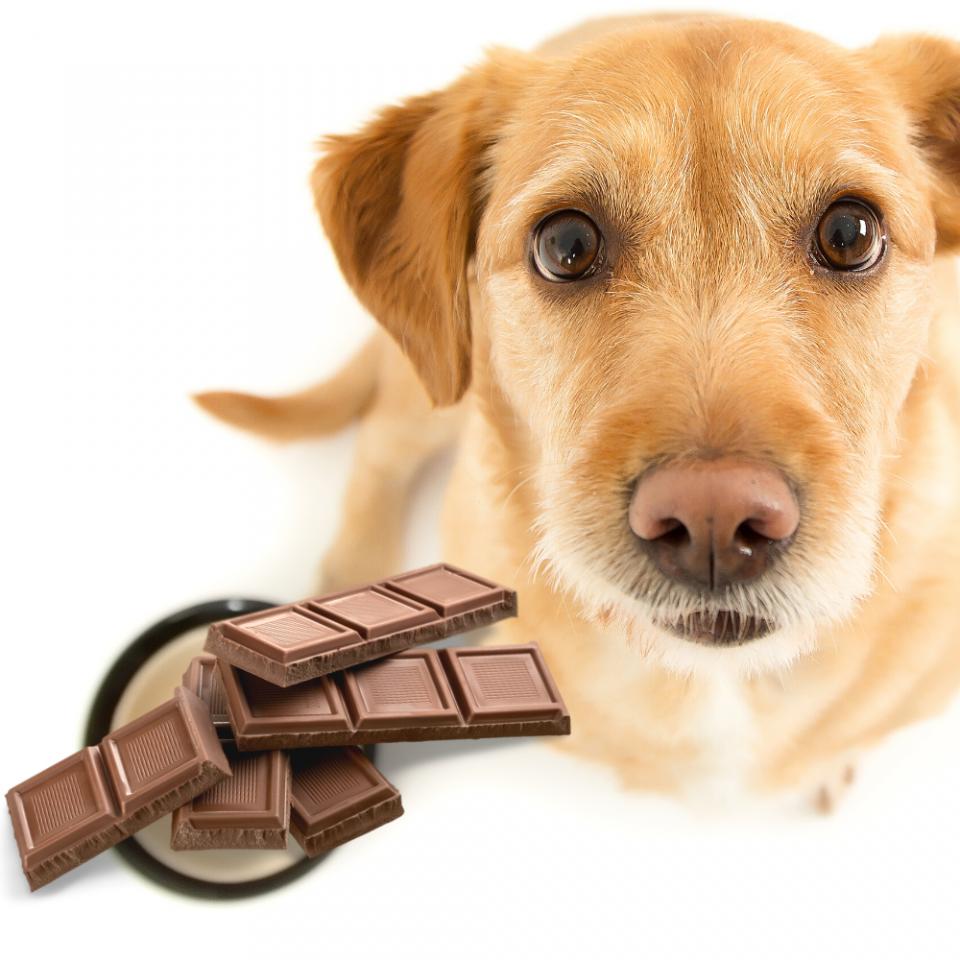 cioccolato al cane