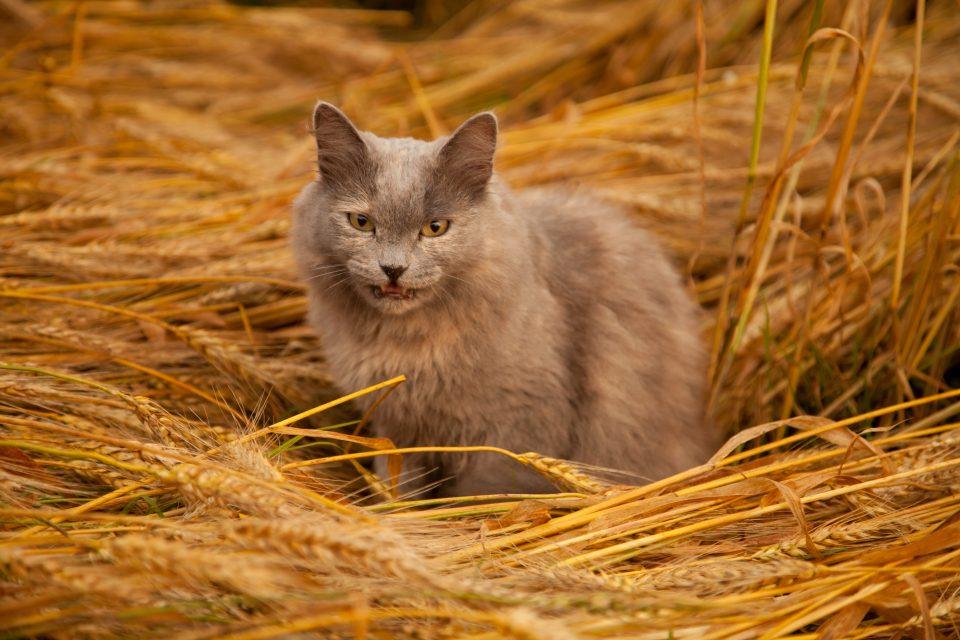 I cereali fanno male al gatto