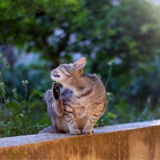 reazioni cutanee gatto