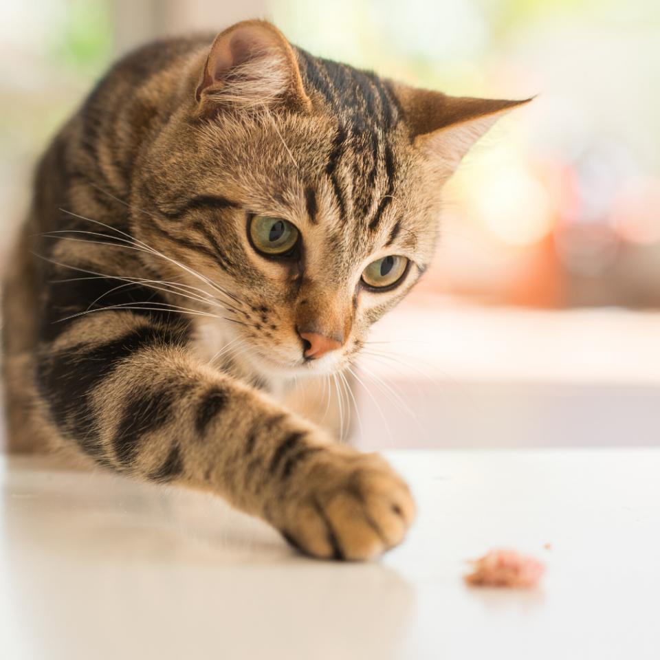 gatto con allergia alimentare